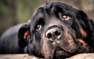 Alimenti per cani e cardiopatia canina