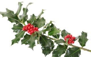 Piante di Natale tossiche per il cane - agrifoglio