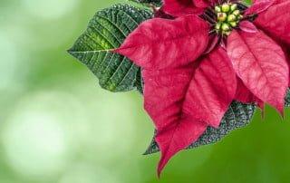 Piante di Natale tossiche per il cane - stella di natale