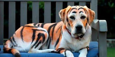 cane tigre