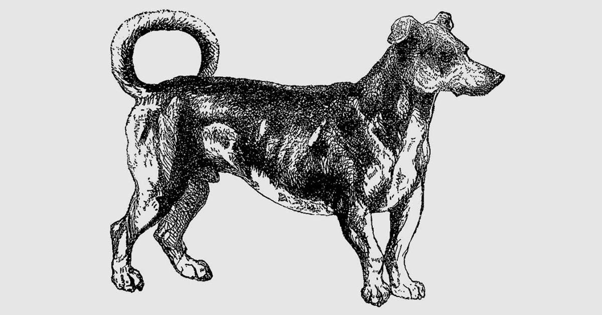 cane girarrosto - Turnspit_Dogs